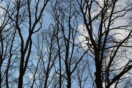 Black silhouettes of trees with interlacing of branches on the background of blue sky with light clouds