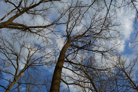 Bare trees on the background of blue sky with light gray clouds. View from below in forest in early spring.