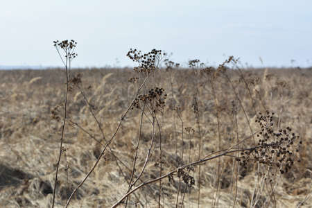 Dry yarrow on the background of field. Achillea millefolium.