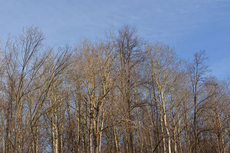 Forest with bare trees in early spring. Beautiful landscape. 版權商用圖片