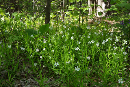 Stellaria media, chickweed, flowering plant with white flowers in spring forest