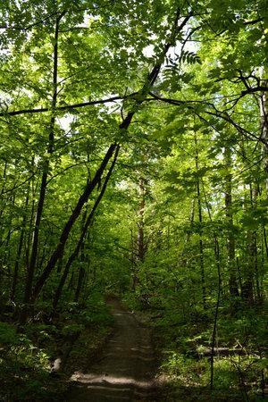 Path through lush green forest in the beginning of summer 版權商用圖片