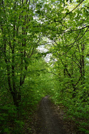 Unexplored path in lush forest with green trees in summer day. 版權商用圖片