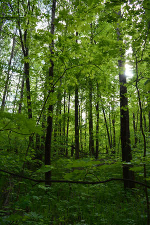 Green forest with maple and birch trees in summer 版權商用圖片