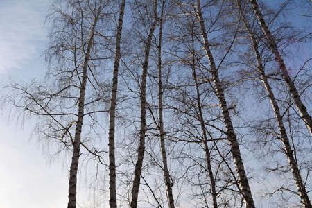 Birch trees on the background of blue sky in early spring