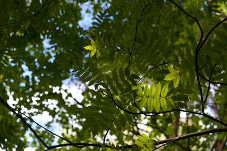 Green leaves of rowan tree are illuminated by sunlight 版權商用圖片