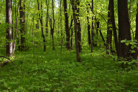 Beautiful forest landscape in spring. Fresh green grass and foliage of trees.