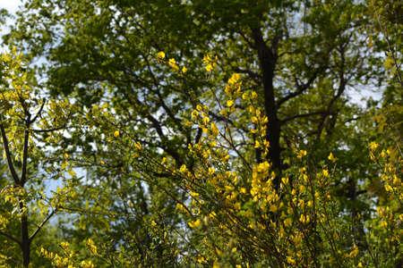 Beautiful yellow flowers of Laburnum bush on the background of green forest 版權商用圖片