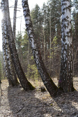 Birch tree trunks on the background of conifer forest in early spring