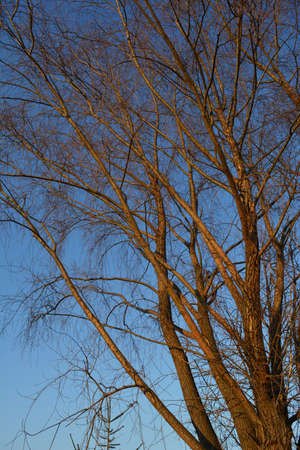 Willow tree illuminated by sunset sun against blue sky. Bare branches in early spring. 免版税图像