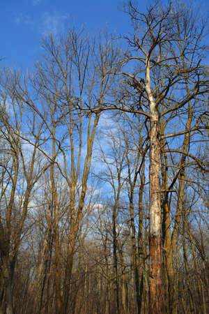 Bare trees in forest in early spring. 免版税图像