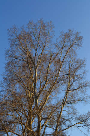Poplar tree in sunny spring day on the background of blue sky