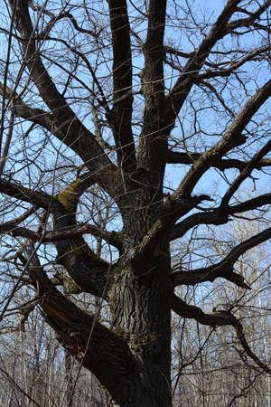 Oak tree in the forest in early spring. 免版税图像