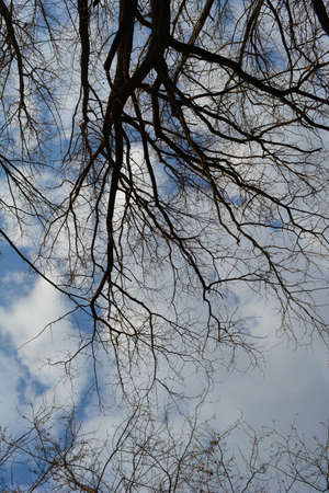Beautiful view in early spring. Tree branches on the background of blue sky with clouds. 免版税图像