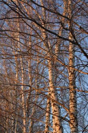 Birch trees in grove are illuminated by sunset sun in early spring.