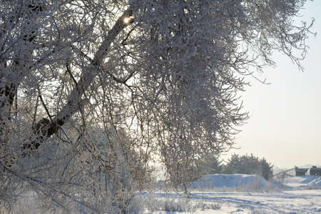 Winter scene. Tree branches covered by white snow on the background of wintry landscape ..