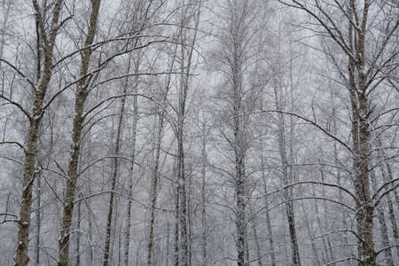 Snowfall in winter forest. Trees covered by snow on the background of gray sky