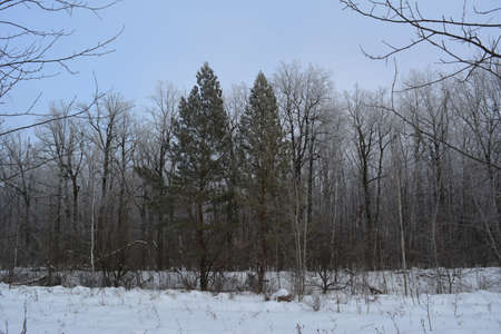 Mixed forest with pines and deciduous trees in winter