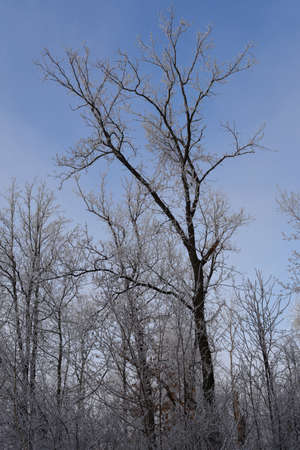 Tree covered by hoarfrost in winter forest. 免版税图像
