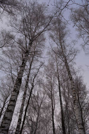 Birch trees in hoarfrost. Winter forest in Russia in overcast day.