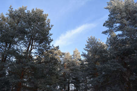 Pine trees covered by hoarfrost in winter forest 免版税图像