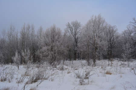 Winter scene with edge of forest, covered by hoarfrost.