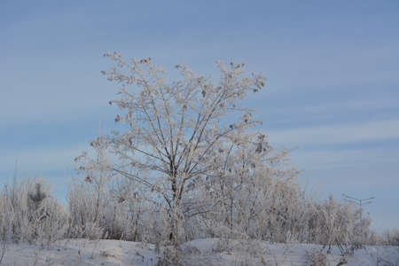 Winter landscape. Acacia tree in hoarfrost on snowy hill.
