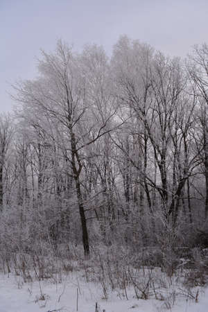 Winter forest in overcast day. Trees covered by hoarfrost. 免版税图像