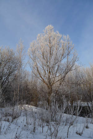Beautiful tree covered by hoarfrost in winter forest.