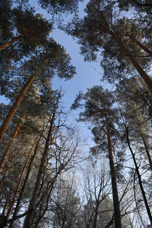 Pine trees in mixed forest in winter.