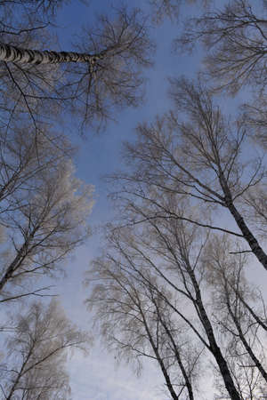 Forest in winter. View from below on birch trees tops in hoarfrost 免版税图像