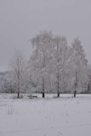 Winter scene with birch trees in hoarfrost. Gray cloudy day 免版税图像