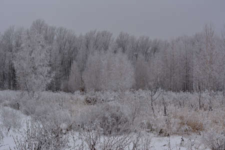 Winter landscape with trees and herbs covered by hoarfrost. Snowy overcast day. 免版税图像