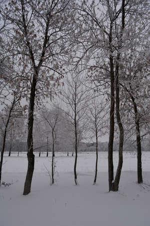 Trees (Acer negundo) in hoarfrost in winter overcast day.