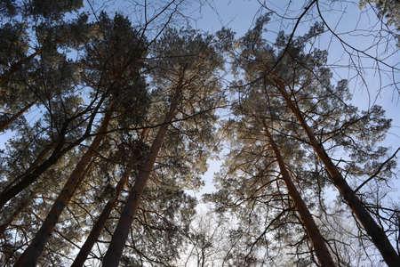 Pine trees in hoarfrost against blue sky in winter. 免版税图像