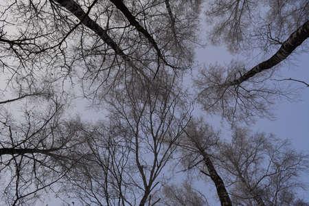Forest in winter. View from below on tall birch trees tops in hoarfrost 免版税图像