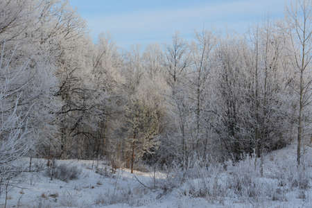 Winter forest. Trees covered by hoarfrost. Christmas scene.