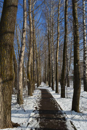 Walking road going through alley with poplar and birch trees in winter sunny day.