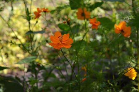 Beautiful orange cosmos flowers in warm summer day