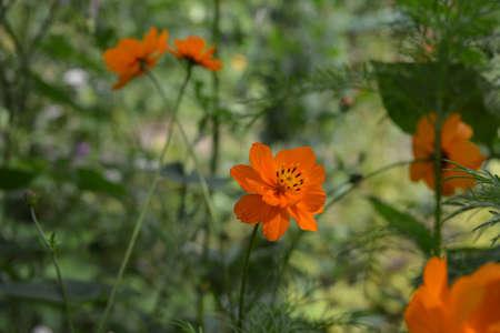 Cute orange flower of cosmos on blurred background