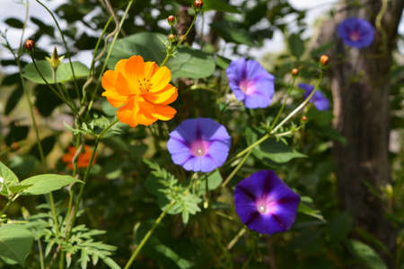 Bright orange cosmos flower on blurred background with blooming ipomoea.