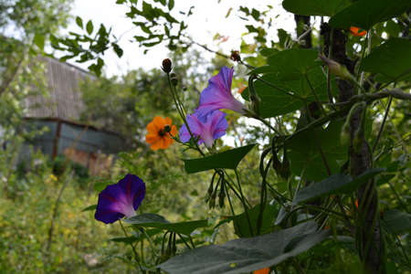 Beautiful purple and lilac ipomoea flowers in summer garden.