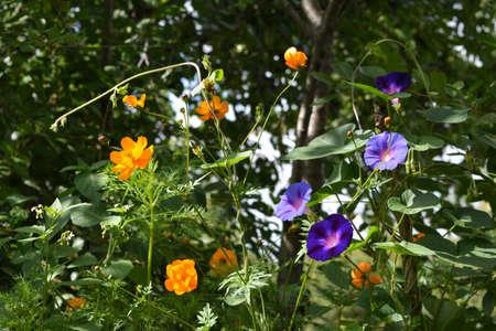 Beautiful flowerebed in summer garden. Violet ipomoea and orange cosmos flowers in sunny day. 版權商用圖片