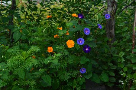 Beautiful lush garden in summer. Orange flowers of cosmos and purple ipomoeas grow in flowerbed.