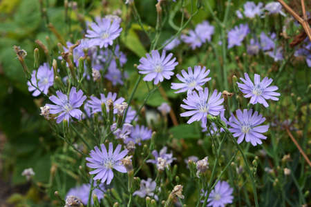 Lactuca tatarica. Beautiful flowers of blue lettuce in summer garden.