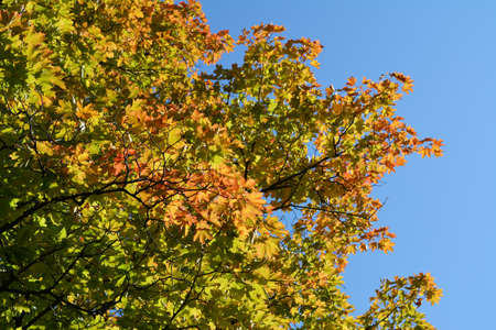 Orange and green maple leaves in the beginning of autumn. Colorful tree foliage against clear blue sky. 版權商用圖片