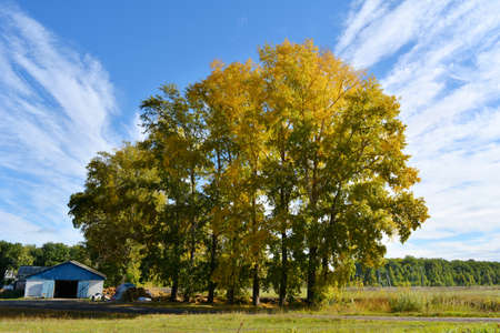 Rural landscape with tall poplar trees in sunny autumn day