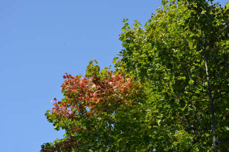 Red foliage of aspen and green maple leaves on the background of blue sky