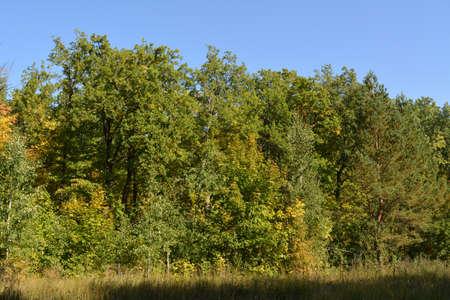 Edge of the mix forest in the september. Beautiful trees with green and yellow foliage on the background of blue sky. 版權商用圖片