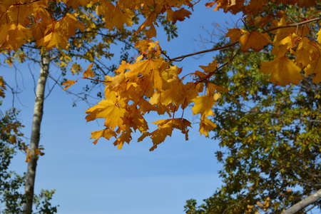 Maple branch with yellow leaves on the background of trees and blue sky. Autumn view
